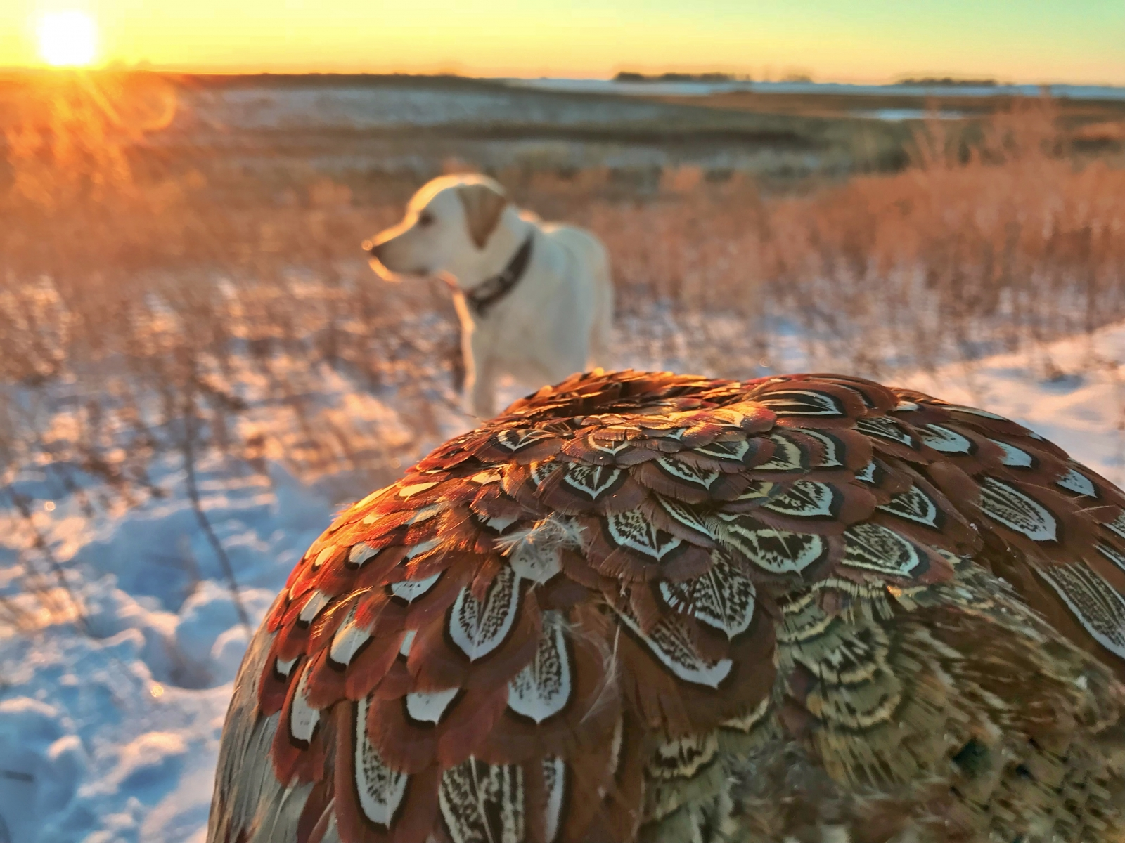 Cold Days Pheasant Hunting with Man's Best Friend
