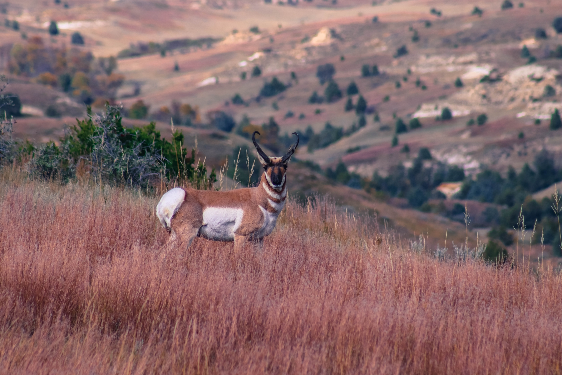 Pronghorn on High Alert