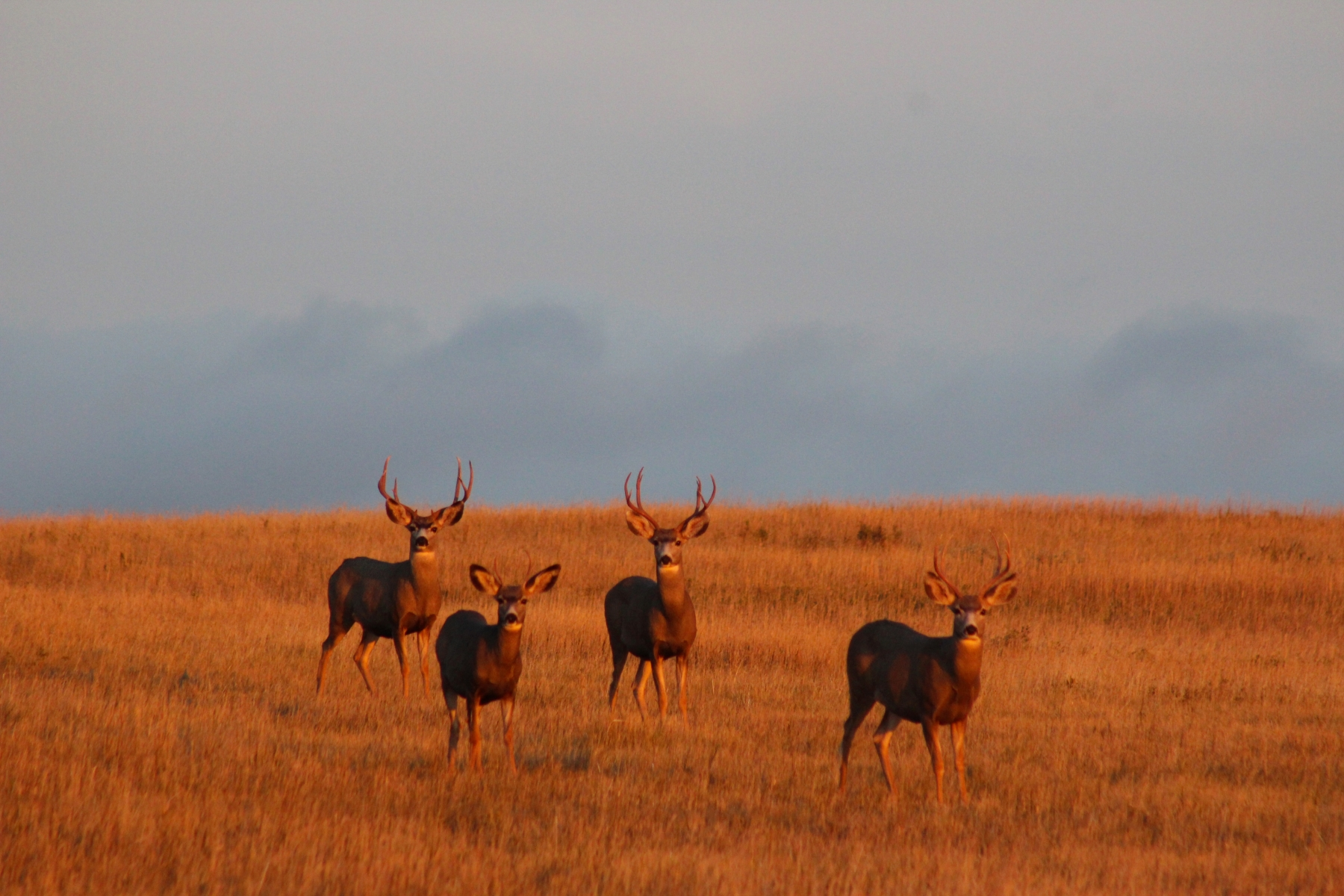 Bachelor Group of Bucks Enjoying a Nice Fall Evening in North Dakota