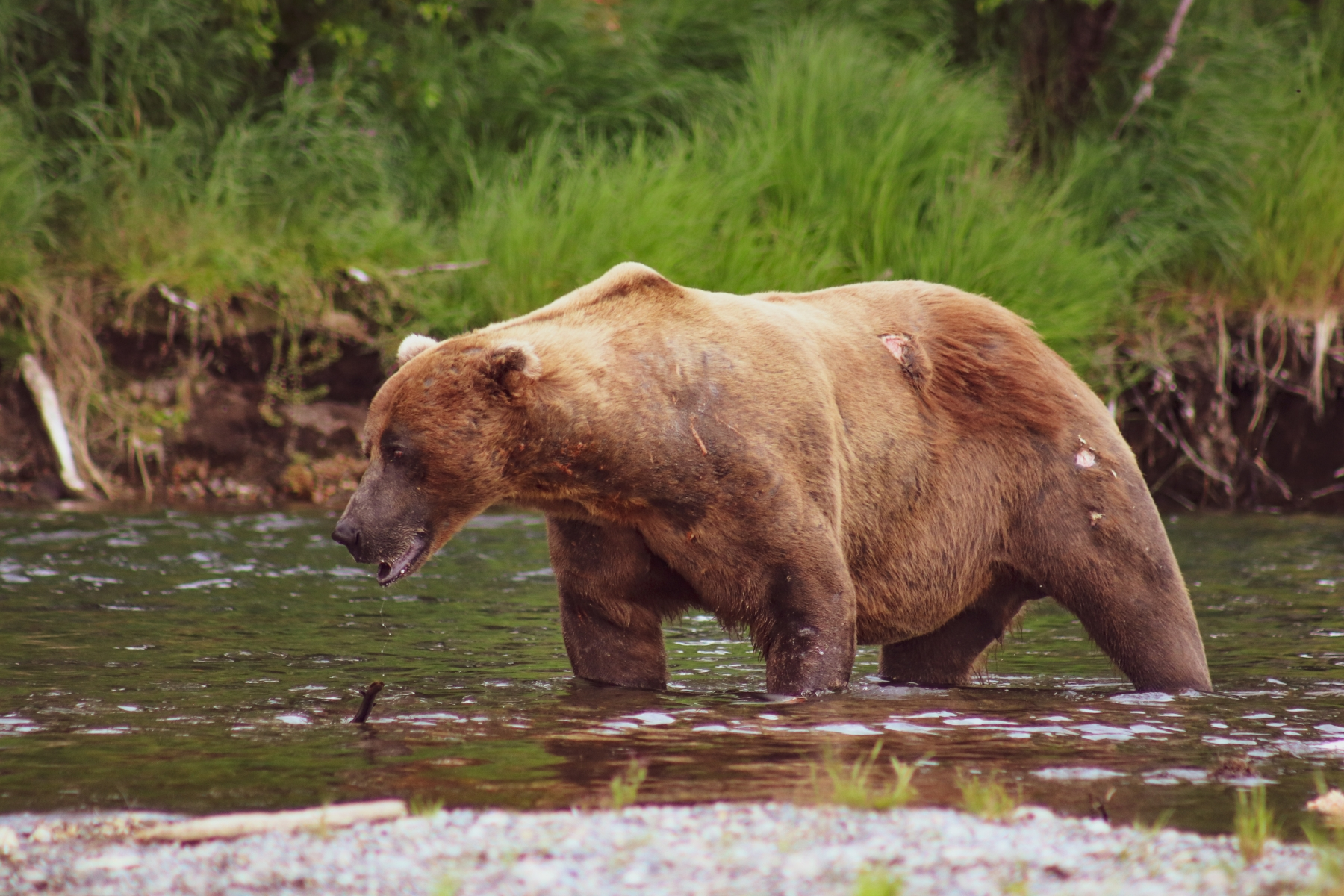Big Brown Bear Fishing