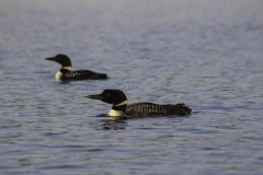 A Pair of Loons Out for a Stroll in Northern Minnesota