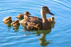 Mallard Ducklings Out for a Morning Swim