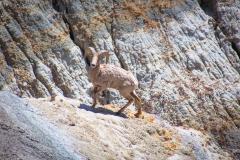 Big Horn Sheep In Western North Dakota