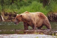 Big Brown Bear Fishing